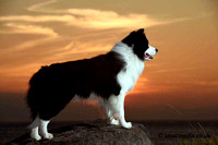 Sunset shoot with a Border Collie